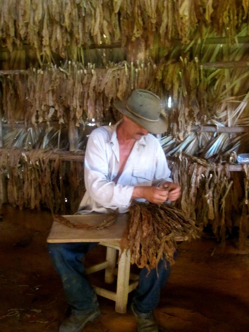 A tobacco farmer rolling Cigars